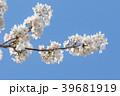 桜と青空 39681919