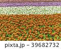 チューリップ チューリップ畑 花の写真 39682732