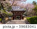 Homyoji temple with cherry blossom in tokyo 39683041