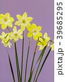 ミニスイセンの花 39685295