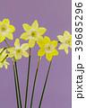 ミニスイセンの花 39685296