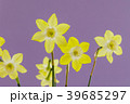 ミニスイセンの花 39685297