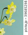 ミニスイセンの花 39685298