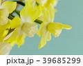 ミニスイセンの花 39685299