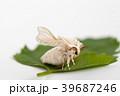 Silk worm moth on studio shot 39687246