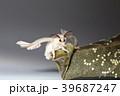 Silk worm moth on studio shot 39687247