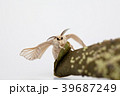 Silk worm moth on studio shot 39687249