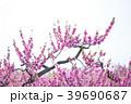 桃 花 春の写真 39690687