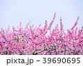 桃 花 春の写真 39690695