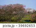 石舞台 桜 古墳の写真 39692653