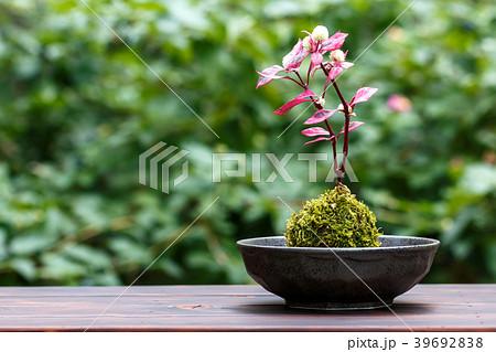 苔盆栽 39692838