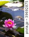 睡蓮 すいれん 池の写真 39692875