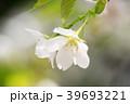 大島桜 39693221