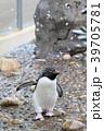 新潟市水族館 マリンピア日本海のミナミイワトビペンギンさん 39705781