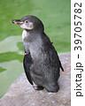 新潟市水族館 マリンピア日本海のフンボルトペンギンさん 39705782