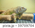 グリーンイグアナ イグアナ 爬虫類の写真 39709704