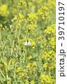 菜の花 花 春の写真 39710197