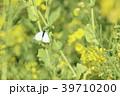 菜の花 花 春の写真 39710200