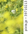 菜の花 花 春の写真 39710213