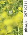 菜の花 花 春の写真 39710214