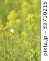 菜の花 花 春の写真 39710215