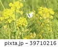 菜の花 花 春の写真 39710216
