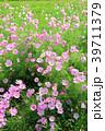 コスモス ピンク色 花の写真 39711379