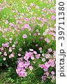 コスモス ピンク色 花の写真 39711380