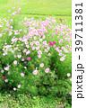 コスモス ピンク色 花の写真 39711381