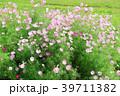 コスモス ピンク色 花の写真 39711382