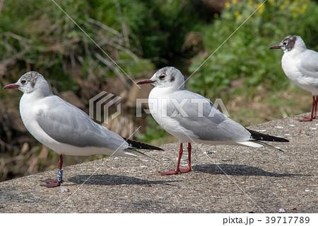 千葉県船橋市の海老川にいた水鳥 39717789