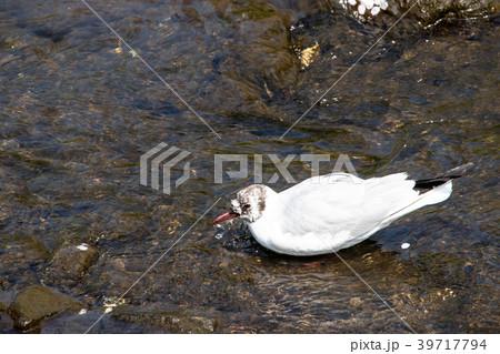 千葉県船橋市の海老川にいた水鳥 39717794