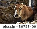 ナコ村 牛 丑の写真 39723409