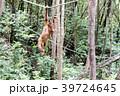 野生の子供オランウータン 39724645