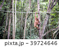 野生の子供オランウータン 39724646