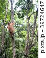 野生の子供オランウータン 39724647