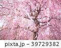 梅 春 しだれ梅の写真 39729382