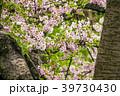 桜 葉桜 愛知の写真 39730430