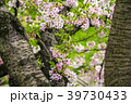 桜 葉桜 愛知の写真 39730433