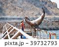 おたる水族館 トドショー 水彩画 39732793