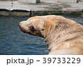 おたる水族館 トドショー 水彩画 39733229