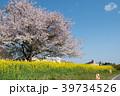 桜 菜の花 春の写真 39734526