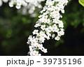 春 花 ユキヤナギの写真 39735196