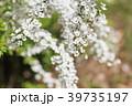 春 花 ユキヤナギの写真 39735197