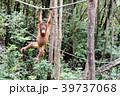 野生の子供オランウータン 39737068