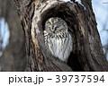 真駒内公園のエゾフクロウ 39737594