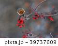 ナナカマドの実を食べるハチジョウツグミ 39737609