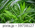 観葉植物 植物 葉っぱの写真 39738127