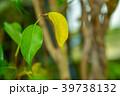 観葉植物 植物 葉っぱの写真 39738132