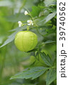 フウセンカズラ 植物 花の写真 39740562